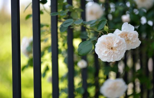 cvety-cvetki-rozy-svetlye.jpg