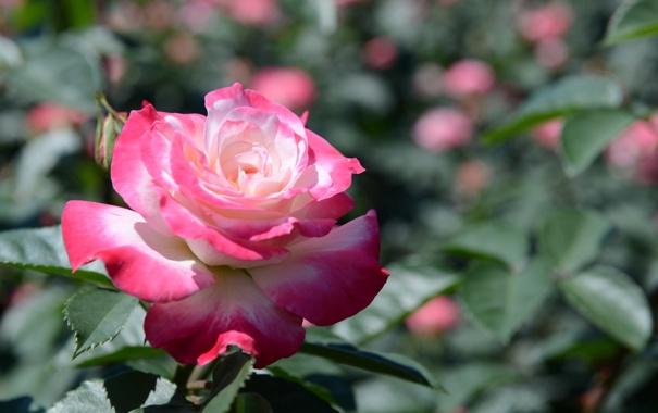 kust-listya-roza-malinovaya.jpg
