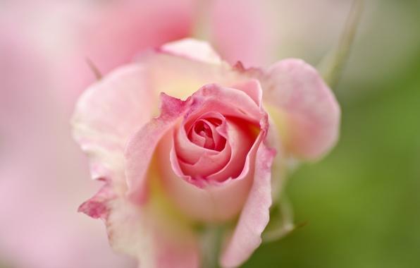 roza-cvetok-fon-6897.jpg