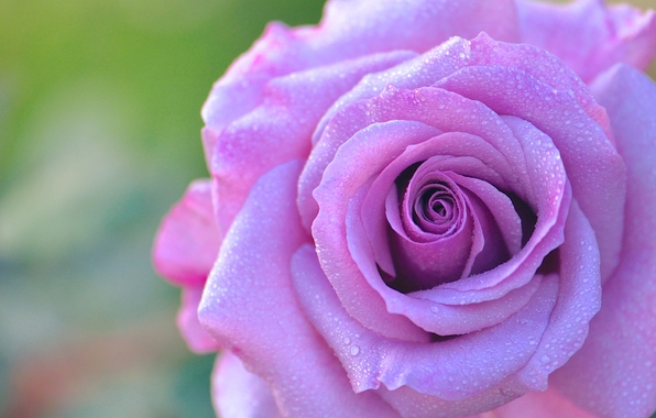 roza-buton-lepestki-kapli-49.jpg