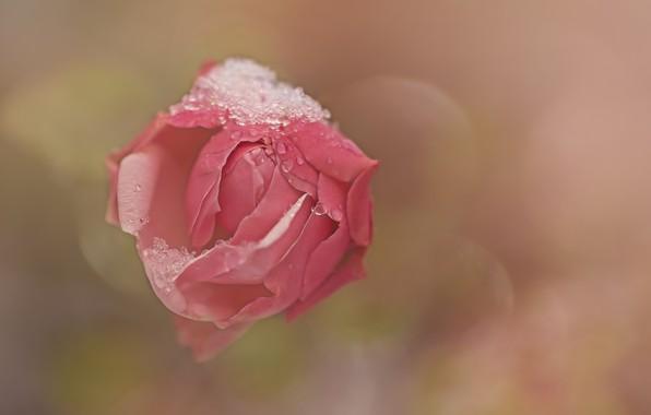 tsvetok-roza-fon-15.jpg