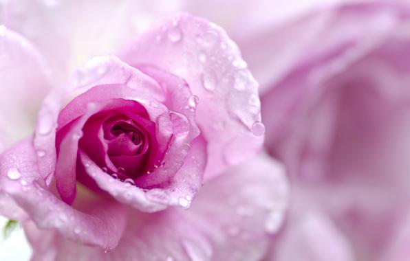cvetok-roza-fon-5724.jpg