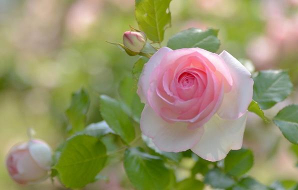 roza-butony-lepestki-509.jpg