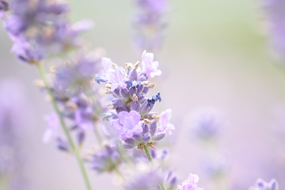 lavender-1889141_960_720.jpg