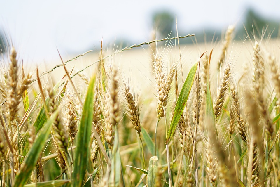 wheat-1556694_960_720.jpg