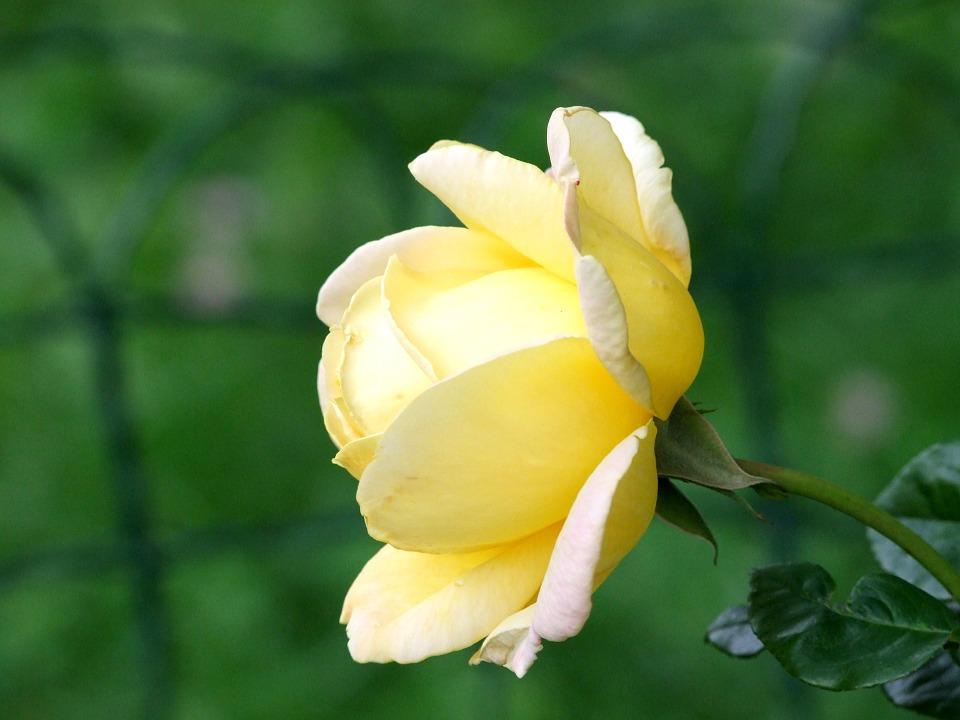 flower-435031_960_720.jpg