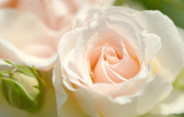 roza-buton-lepestki-makro-2991.jpg