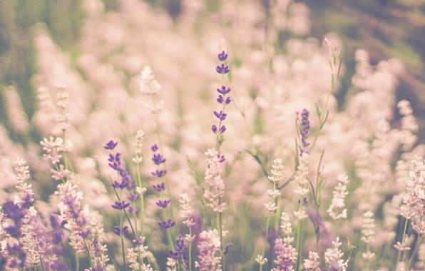 lavandy-stebli-boke.jpg