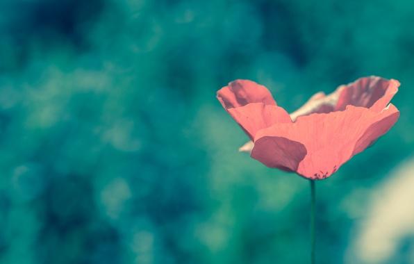cvetok-mak-pole-leto-krasnyy.jpg