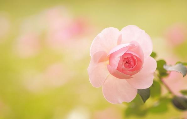 roza-lepestki-makro-boke-6137.jpg