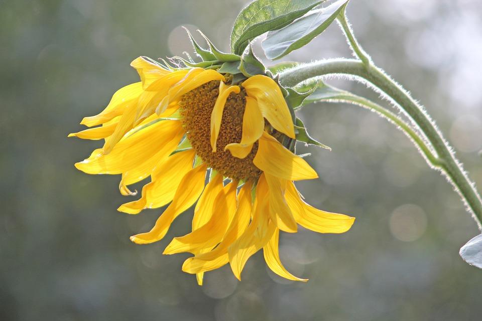 sun-flower-631795_960_720.jpg