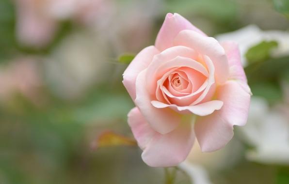 roza-buton-makro-boke-3792.jpg