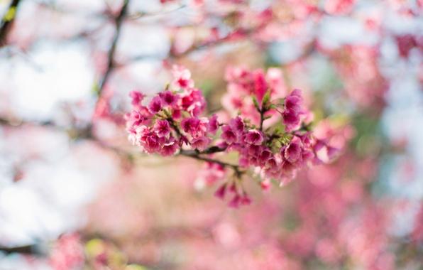 sakura-cvety-rozovye-cvetenie-4478.jpg