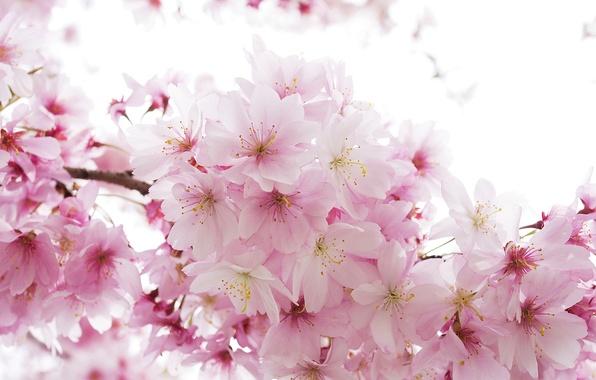 sakura-rozovyy-nezhnost-vesna.jpg
