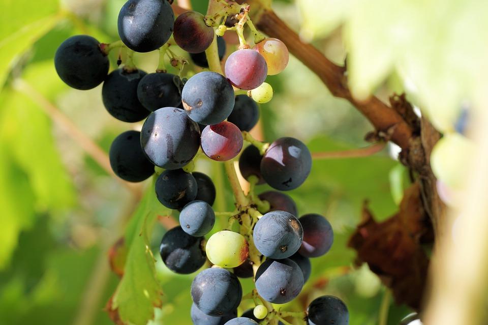 grapes-1637559_960_720.jpg