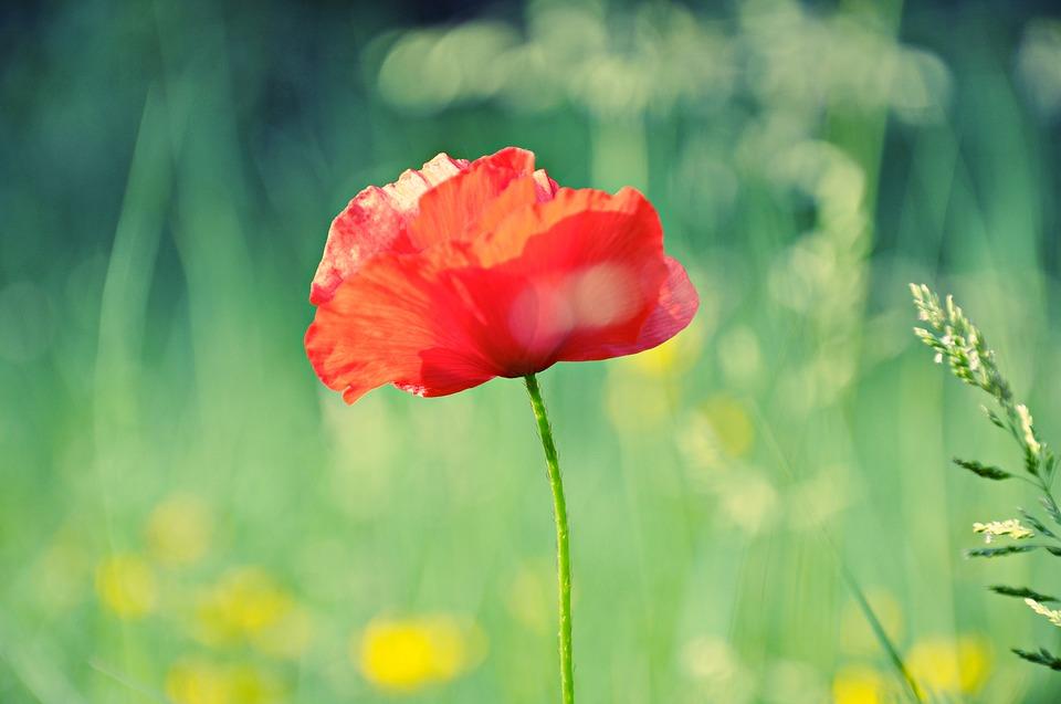 poppy-1432648_960_720.jpg
