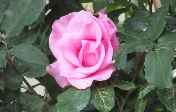 rozy-rose-cvety-flower-pink.jpg