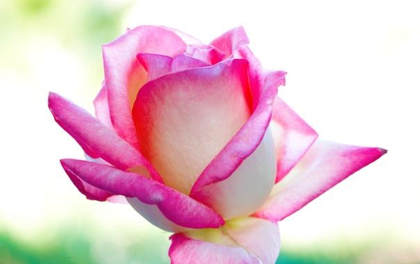 roza-krasota-lepestki-cvet-fon.jpg