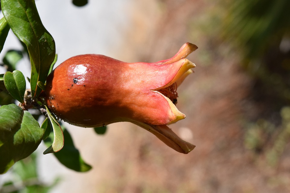 pomegranate-1452269_960_720.jpg