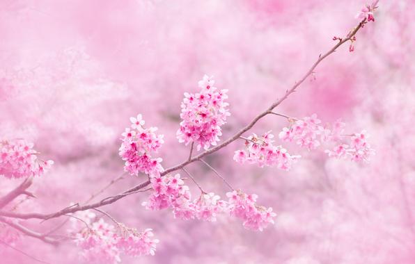 sakura-vetki-cvety.jpg