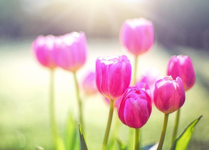 tulips-2239237_960_720.jpg