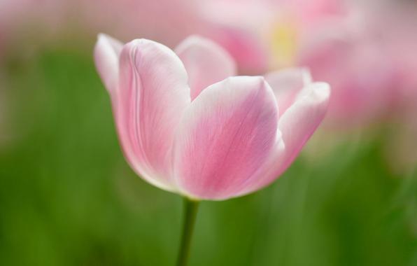 tyulpan-cvetok-lepestki-vesna.jpg